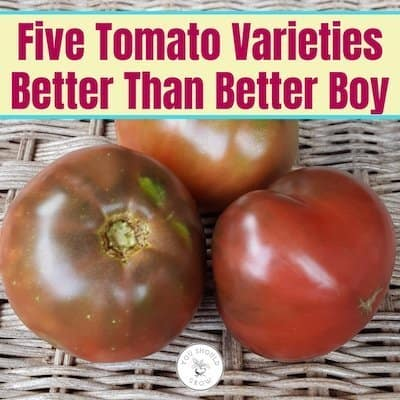 Five Tomato Varieties Better Than Better Boy. text overlaying image of cherokee purple tomatoes