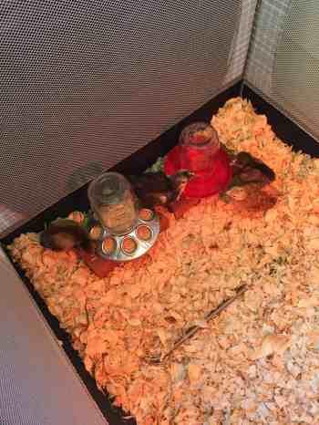 Baby chicks in pack-n-play brooder