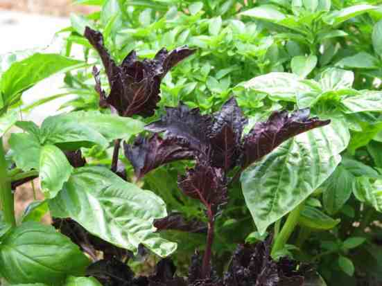 Lovely, aromatic basil is a great companion plant for tomatoes.
