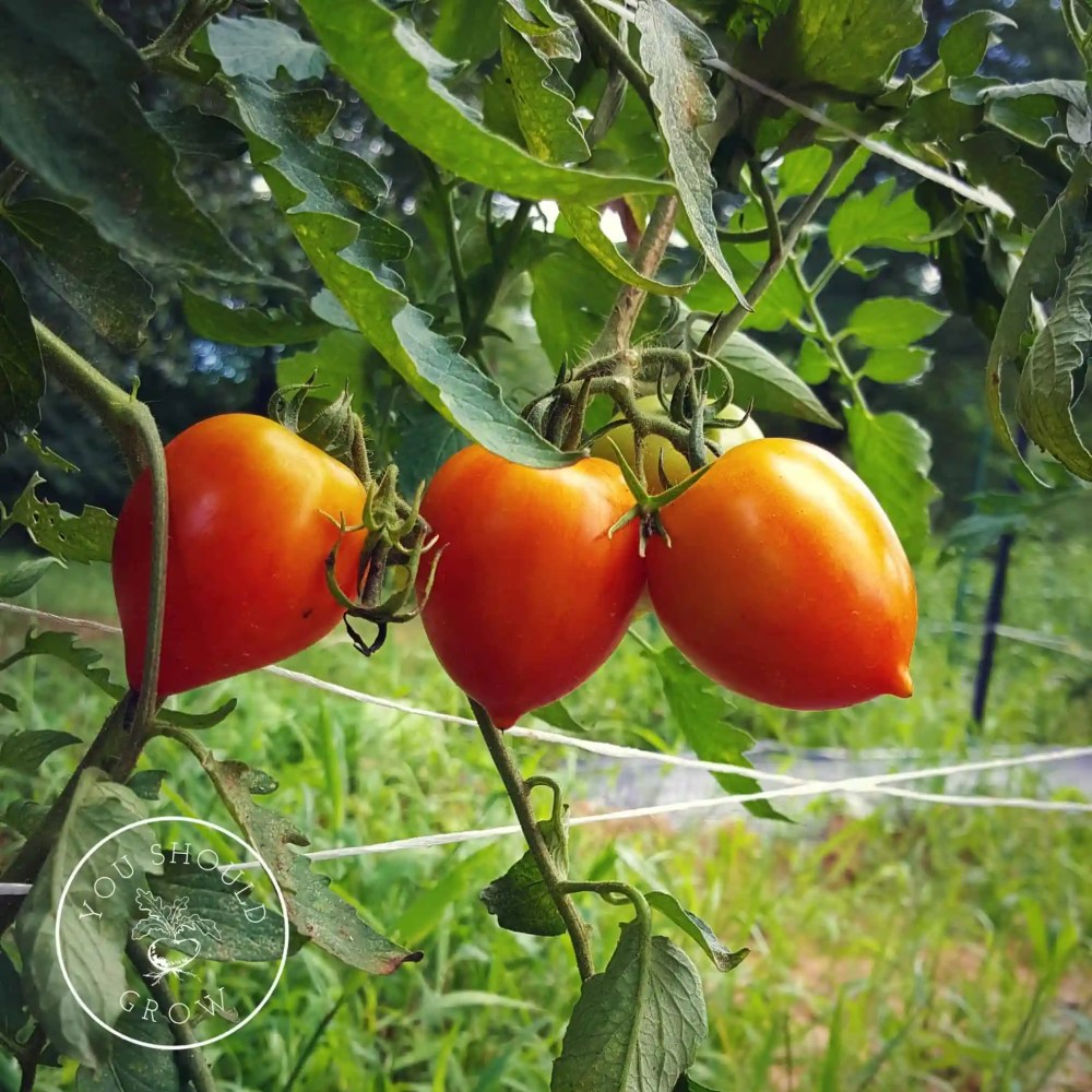 Garden Gem Tomato: A Tomato Geek's Review