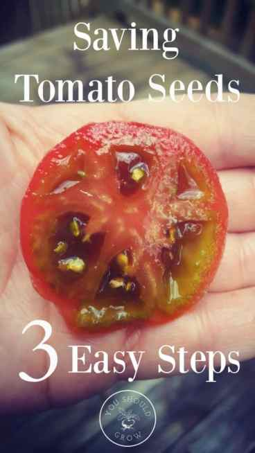 This is the best way to save tomato seeds, and it's just three easy steps. If you are growing heirloom tomatoes in your garden, then you definitely want to save those seeds. Click through to the article at YouShouldGrow.com