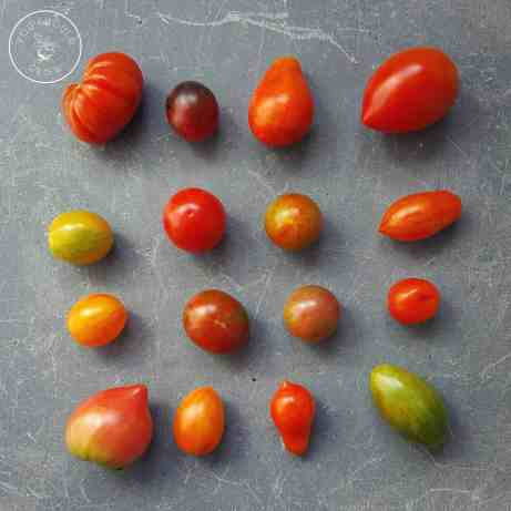 Displaying the variation of hybrid tomatoes.
