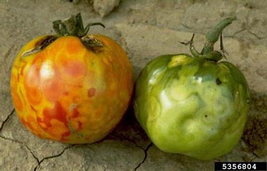 red and green tomatoes infected with tomato spotted wilt virus