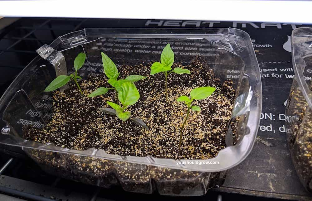 Pepper seedlings in a clear tray.