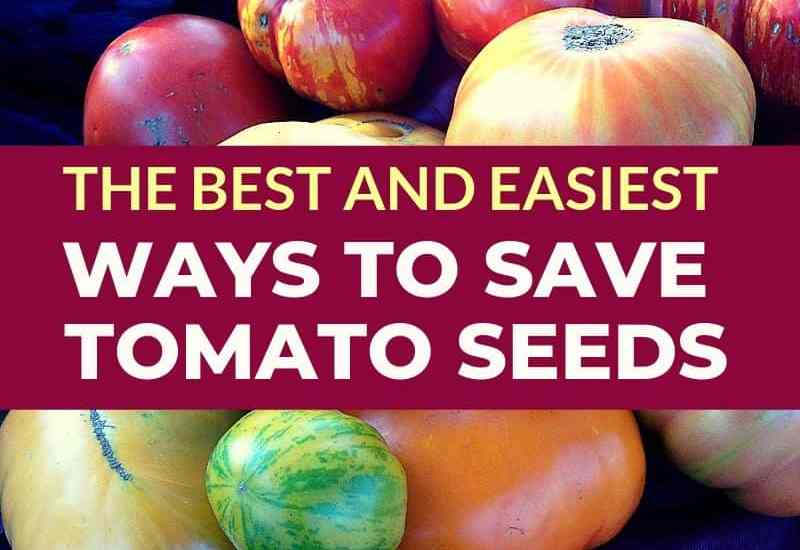 pink yellow orange and green tomatoes on a table. Text the best and easiest ways to save tomato seeds
