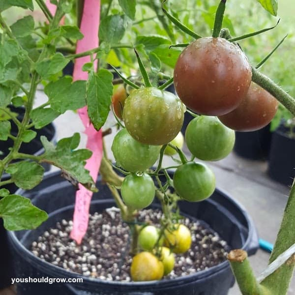 pretty purple tomatoes growing in a pot
