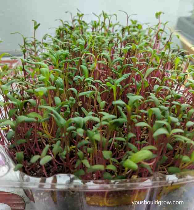 beets and chard microgreens growing indoors