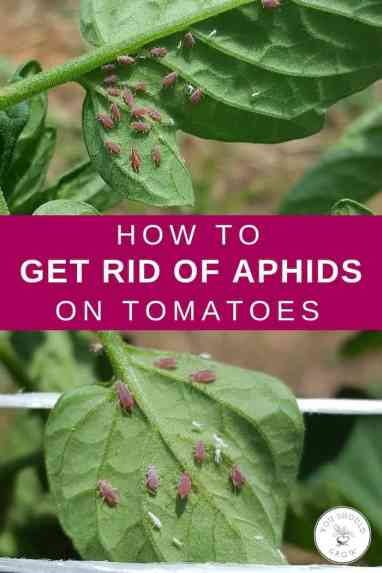 how to get rid of aphids on tomatoes closeup of aphids on tomato leaves