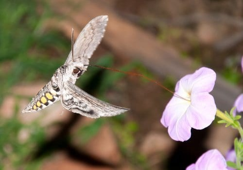 Tomato hornworm moth in flight feeding on pink flower