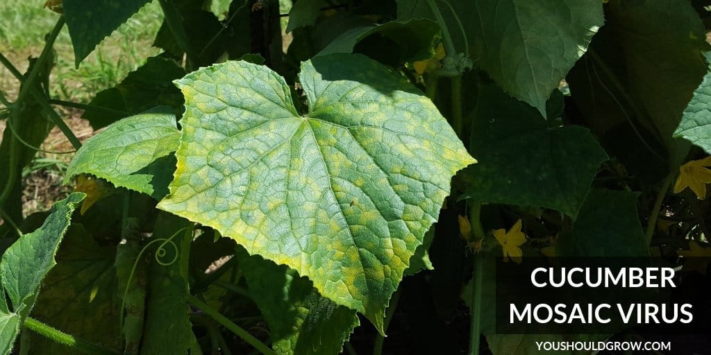 cucumber leaf affected by mosaic virus