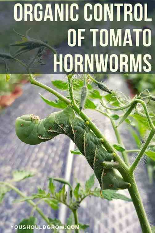 organic control of tomato hornworms pin text overlay image of tomato hornworm on tomato plant
