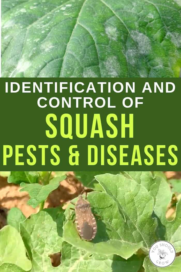 identification and control of squash pests and diseases