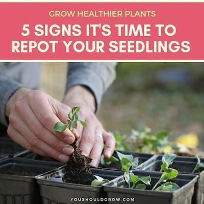 5 signs it's time to repot your seedlings. Text on pink background, image of hands repotting broccoli starts