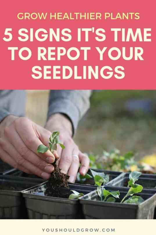Grow healthier plants. 5 signs it's time to repot your seedlings. Text on pink background, image of hands repotting broccoli starts