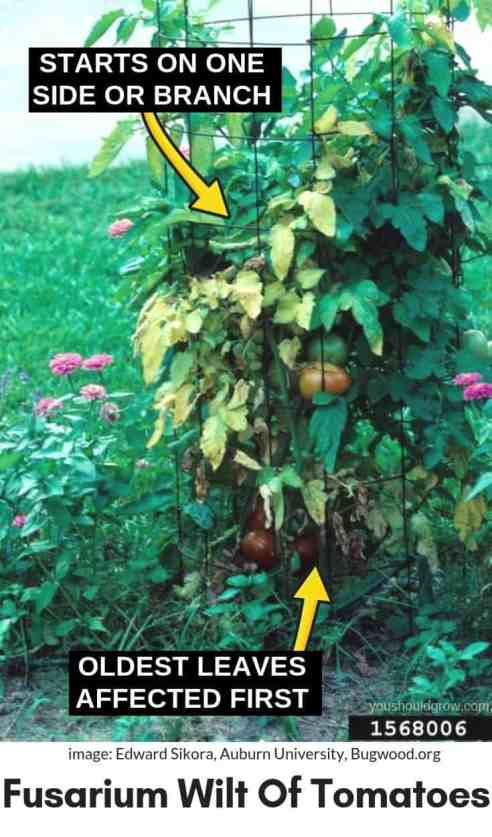 Fusarium wilt symptoms in tomato plant