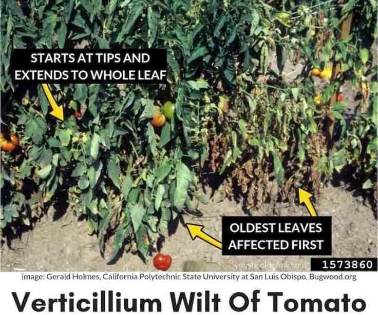 symptoms of verticillium wilt described on image of sick tomato plant