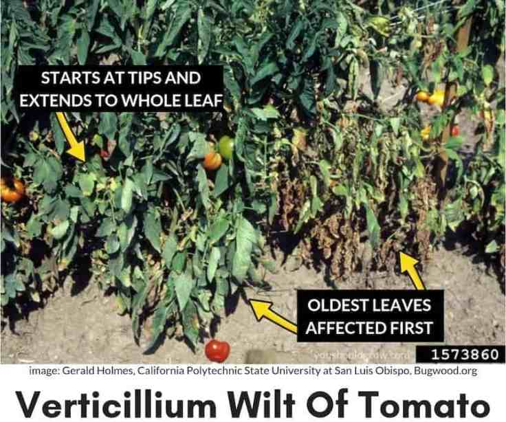 symptoms of verticillium wilt described on image of sick tomato plant
