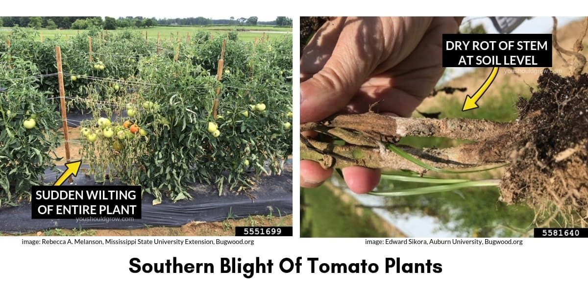 southern blight tomato images