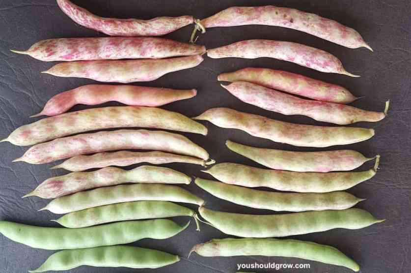 rows of beans arranged to display their colors from green to pink