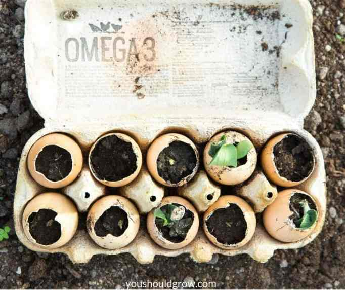 fast sprouting seeds growing in eggshells in egg carton