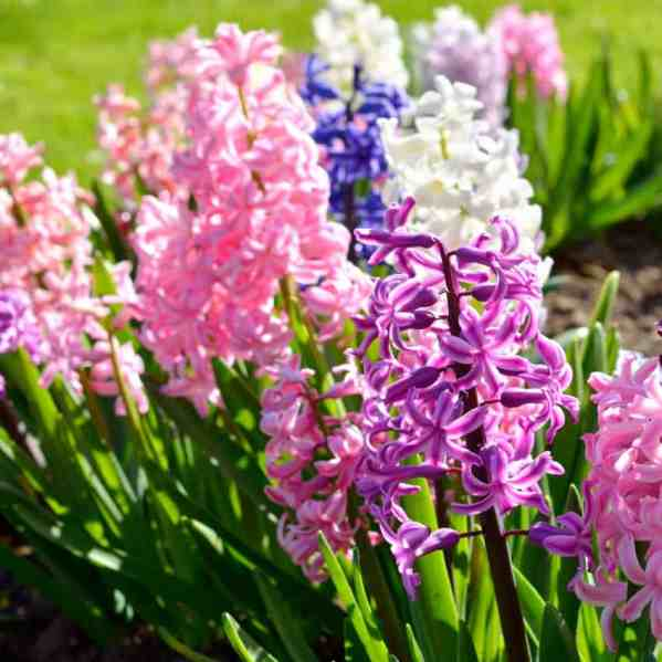 hyacinth planted as fall garden flowers