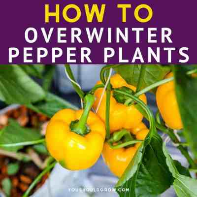 How to Overwinter Your Pepper Plants