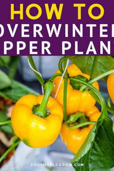 How To Overwinter Pepper Plants (featured image)