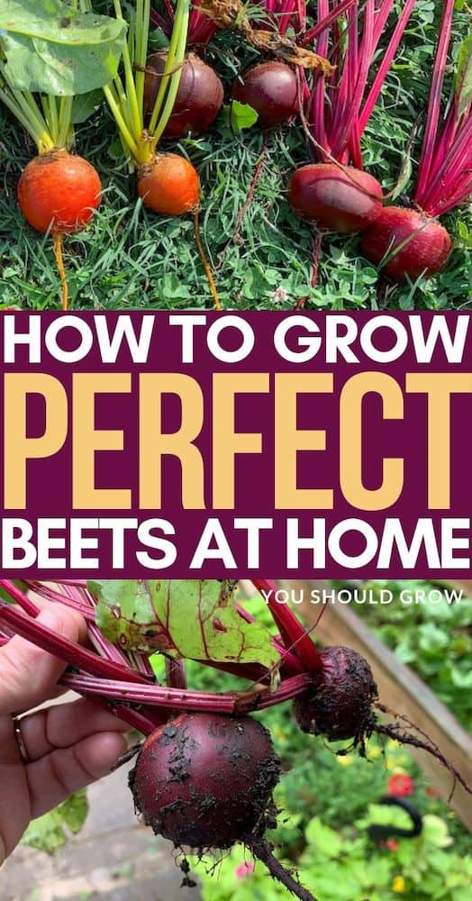 Growing beets is pretty simple, and if you follow these tips for success, you'll have delicious homegrown beets in no time! Try this easy to grow crop in your backyard veggie garden today!