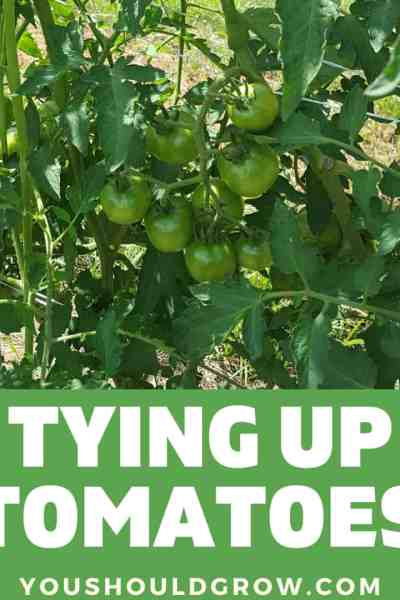 staking tomatoes featured image