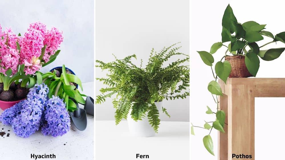 hyacinth, fern, pothos