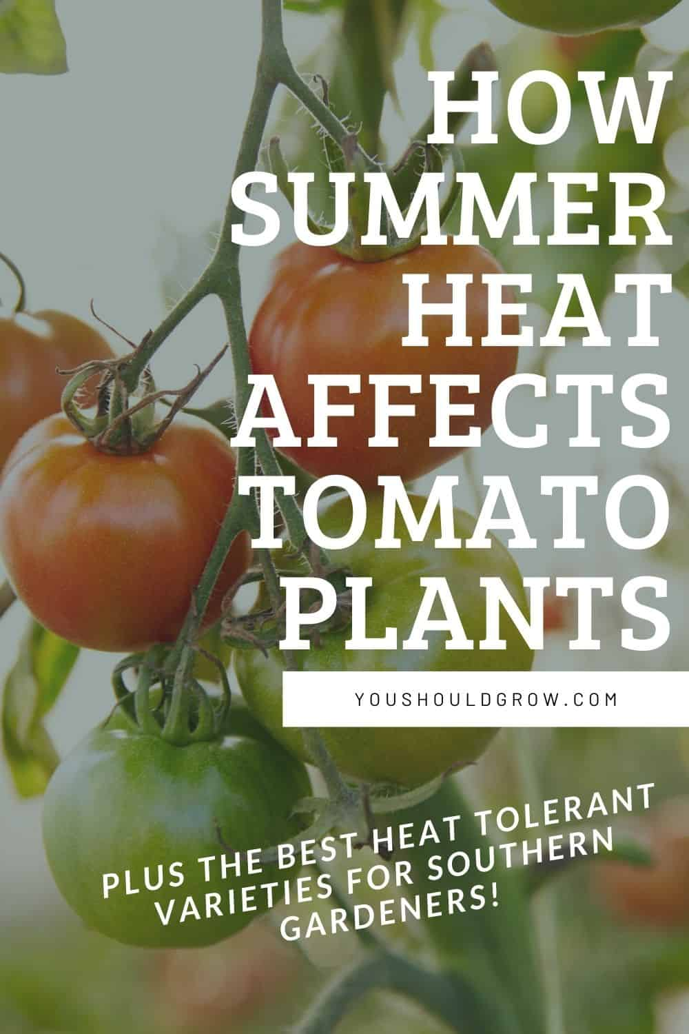 how summer heat affects tomato plants pinterest pin