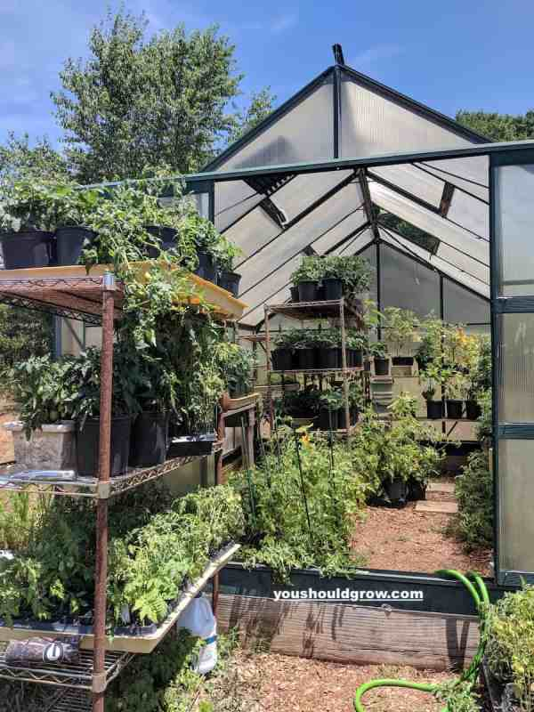 greenhouse full of tomatoes not treated with epsom salt