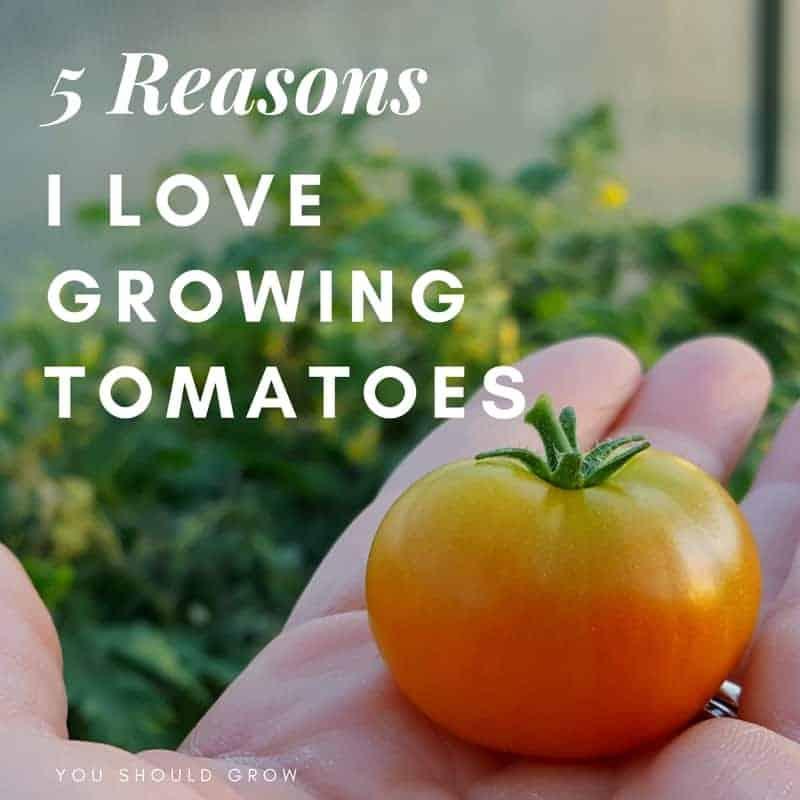 5 Reasons I Love Growing Tomatoes