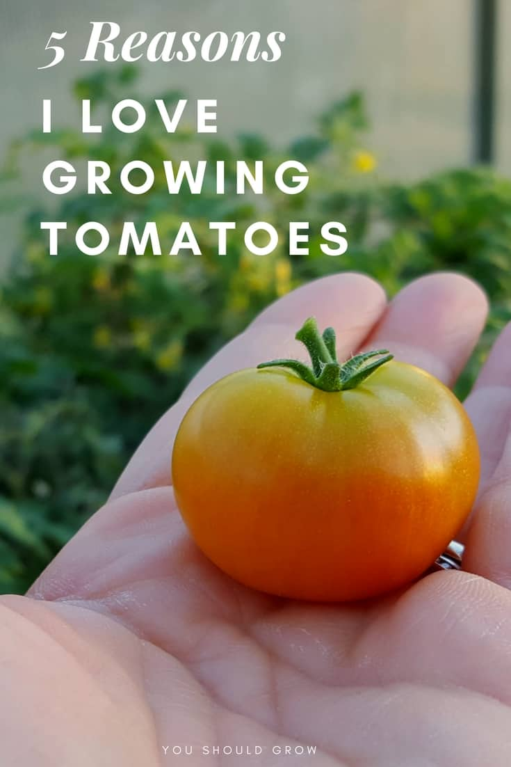 Growing tomatoes: 5 reasons it's my favorite crop to grow. For me, a garden isn't complete without a crop of tomato plants. Click through to learn the top reasons I love growing tomatoes, and you will too.