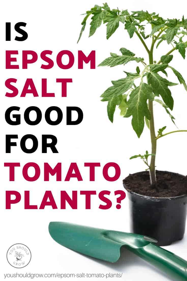 5 Unbelievable Things Epsom Salt Does For Tomato Plants
