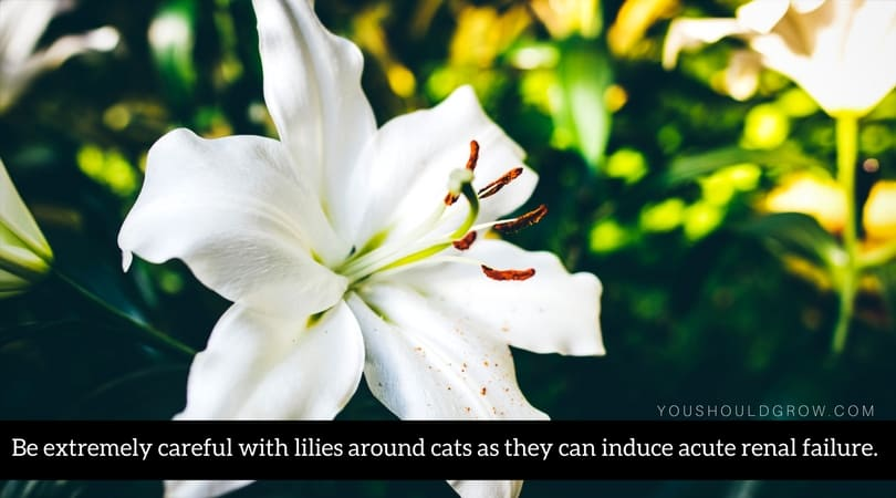 Be extremely careful with lilies around cats as they can induce acute renal failure.