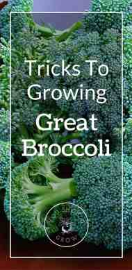 Tricks to growing great broccoli at youshouldgrow.com