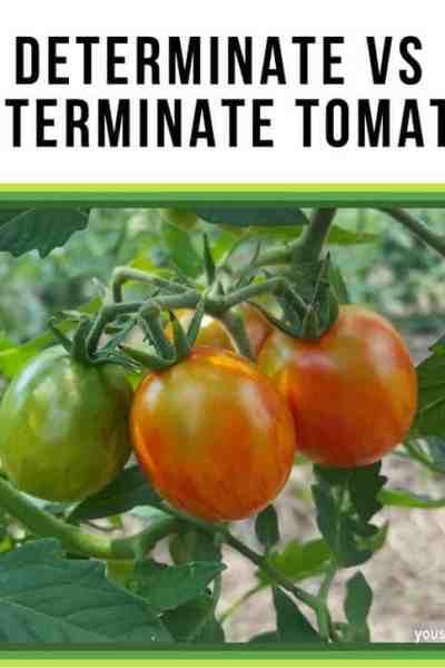 Determinate vs indeterminate tomatoes