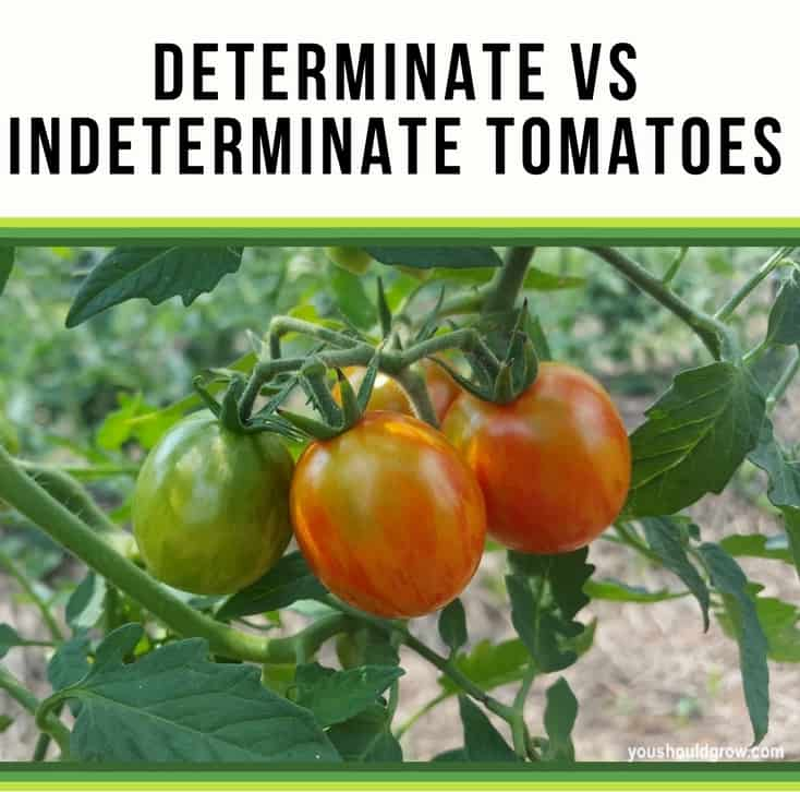 Image of 3 tomatoes on a tomato vine with text: determinate vs indeterminate tomatoes