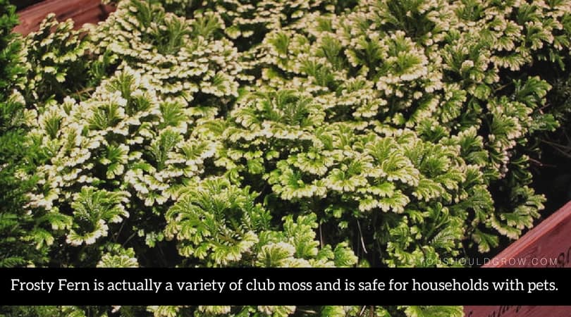 Frosty Fern is actually a variety of club moss and is safe for households with pets.