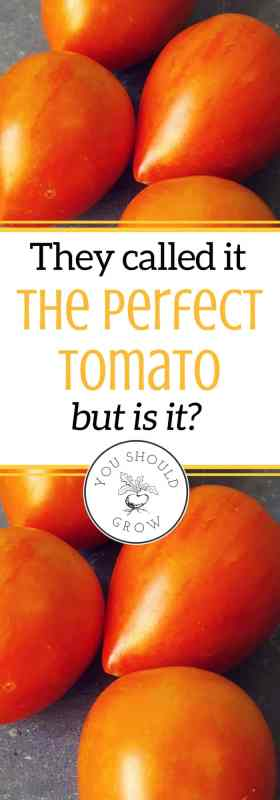 Bred for great flavor and shelf life, they called the garden gem tomato perfect. So of course as avid tomato gardeners, we had to try it. Read our review of this tomato for the home grower. Tomatoes. Growing tomatoes.
