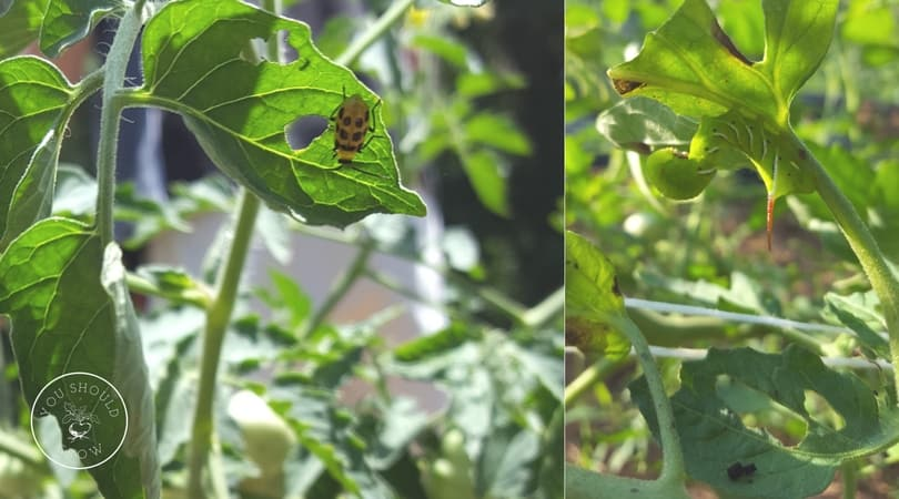 Pests eating holes in tomato leaves