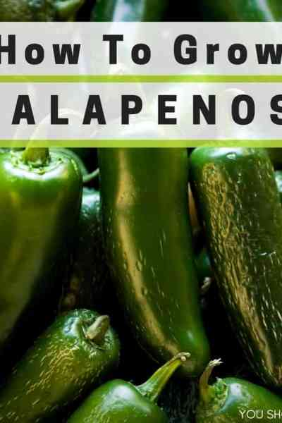 Learn how to grow jalapenos at youshouldgrow.com