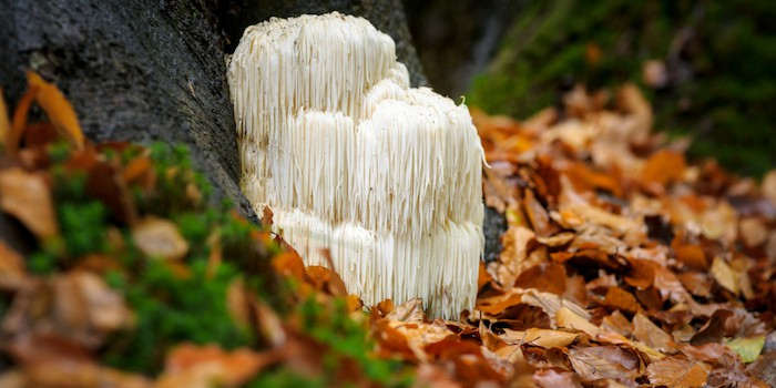 lions mane mushroom growing in the woods