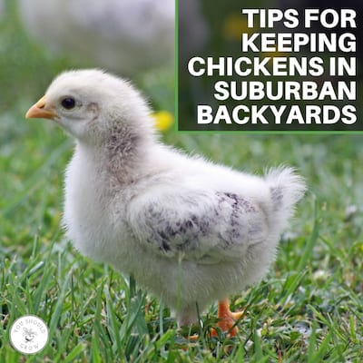 Tips For Keeping Chickens In Suburban Backyards: A Veterinarian's Experience