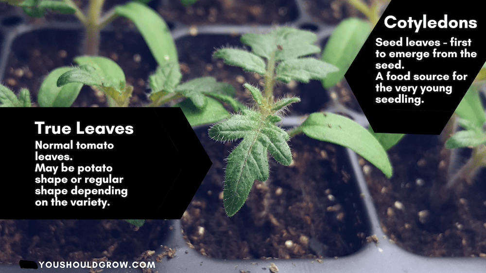 Image of a young tomato plant demonstrating the difference between regular leaves and cotyledons.