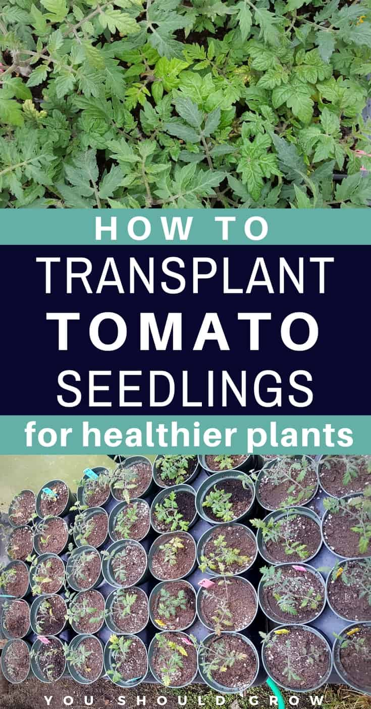 Growing tomatoes: transplanting tomato seedlings makes healthier plants for your garden. Find out how to transplant tomato seedlings. It's really easy, and you can do it!