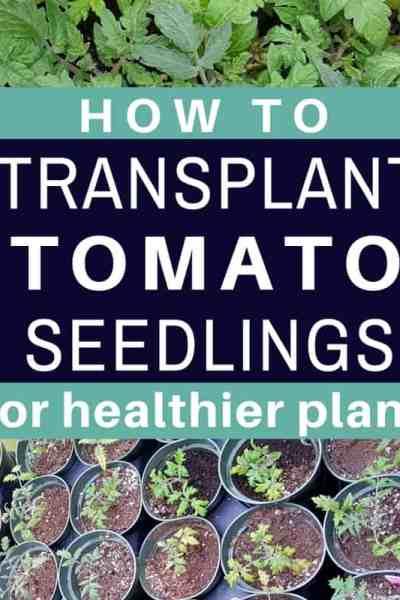 Pro Tips For Transplanting Tomato Seedlings