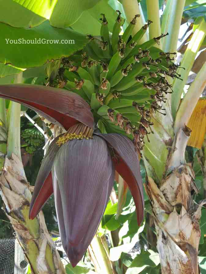 Bananas grow on huge trees!