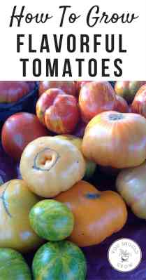 How to grow flavorful tomatoes. Grow delicious homegrown tomatoes with these gardening tips.